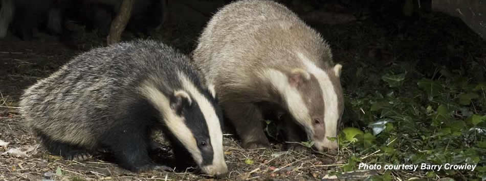 Group of badgers called those